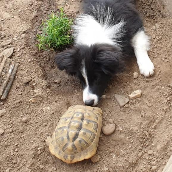 Unverstanden? Border Collie und Schildkröte haben sich nichts zu sagen.